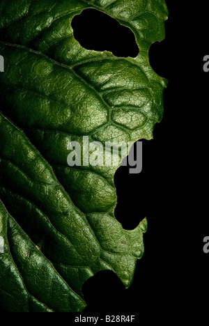 Foglia verde con espressione umana di rabbia Foto Stock