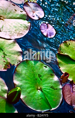 Lily Pad e gemme di ninfea [alto angolo] e vista laterale Foto Stock