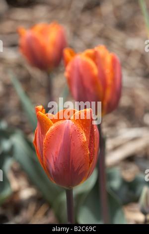 Gocce d'acqua sulla tulipani rossi (Tulipa) dopo la pioggia, Carinzia, Austria, Europa Foto Stock