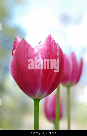 Tulipani rosa Foto Stock
