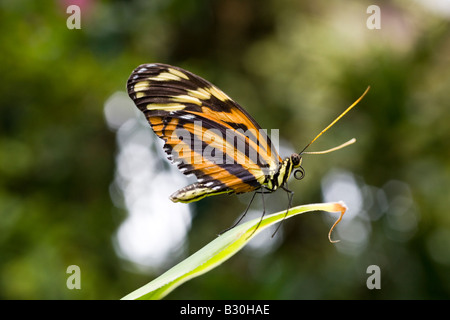 Tiger Longwing heliconius ismenius butterfly sullo stelo, i Giardini Victoria Butterfly, Brentwood Bay, British Foto Stock