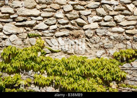 Edera sul muro di pietra Foto Stock