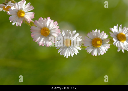 Catena a margherita (Bellis perennis)