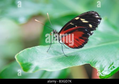 Esotici tropicali Sud Americana Golden Helicon butterfly Heliconius hecale seduto su una foglia verde Foto Stock