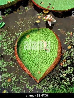 Nuoto grande foglia di un Victoria amazonica großes schwimmendes Blatt einer Victoria amazonica in Ayutthaya Thailandia Foto Stock