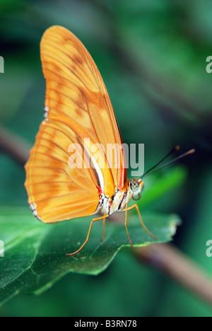 Esotici tropicali del Sud America butterfly Flambeau Dryas iulia o Julia farfalla posata su una foglia verde Foto Stock