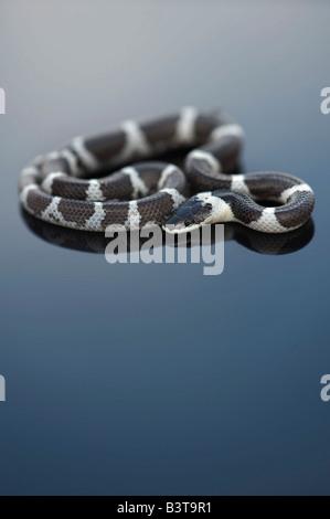 Lycodon septentrionalis. I capretti White-Banded Wolf Snake su sfondo scuro Foto Stock