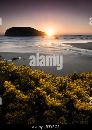Tramonto e ginestre millefiori a Harris Beach State Park Oregon Foto Stock