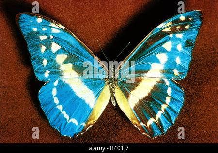 Zoologia / animali, insetti, farfalle, Blu Morpho, (Morpho helena), distribuzione: Perù, butterfly, Lepidoptera, Foto Stock