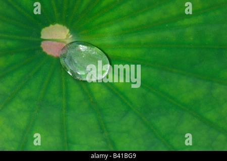 Sacro Lotus (Nelumbo nucifera) acqua formando goccioline sulla superficie di una foglia il cosiddetto effetto lotus Foto Stock
