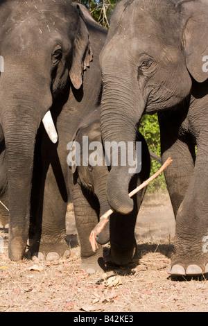Elefanti indiani a giocare con il loro bambino tenendo un bastone nella loro tronco carino adorabile famiglia elefante Foto Stock