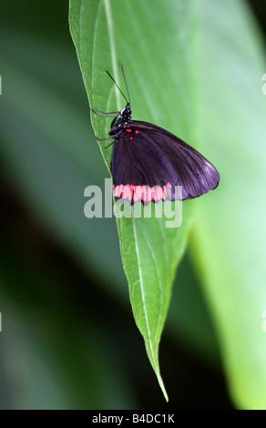 Cerchio rosso di farfalle tropicali, Biblis hyperia, Nymphalidae, Biblidinae Foto Stock