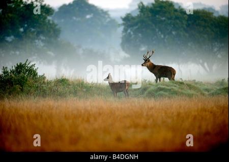 I giovani Cervi Cervi nella nebbia Foto Stock