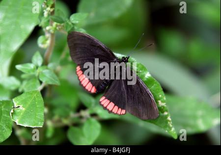 Cerchio rosso di farfalle tropicali, Biblis hyperia, Nymphalidae Foto Stock