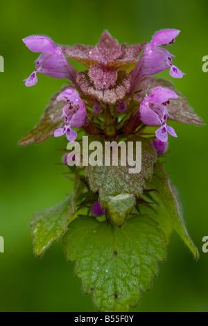 Red dead ortica Lamium purpureum in fiore comuni erbacce nel Regno Unito