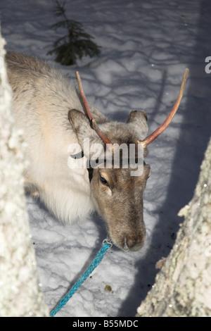 Rein Deer vitello in Lapponia Finlandia Foto Stock