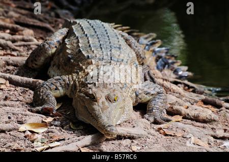 Coccodrillo di acqua salata, Territorio del Nord, l'Australia, il Pacifico Foto Stock