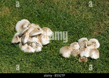 Lavare Tujunga sub spartiacque Macrolepiota americana, funghi San Fernando Valley CA, città della California di Foto Stock