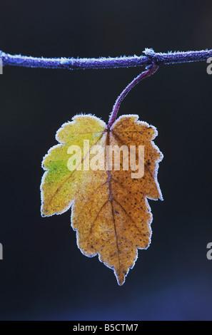 Acero Rosso Acer rubrum bordati di foglia in frost Raleigh Wake County North Carolina USA Foto Stock