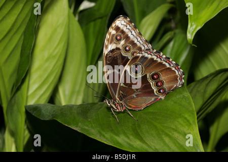 Farfalla Morpho peleides singolo adulto in appoggio sulla lamina che mostra la parte inferiore del parafango dalla Foto Stock