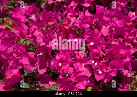 Dh BOUGAINVILLEA LANZAROTE fioritura viola Bougainvillea bush di piante e fiori sbocciano