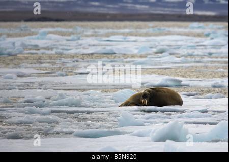 Trichechi sul pack-ice Foto Stock