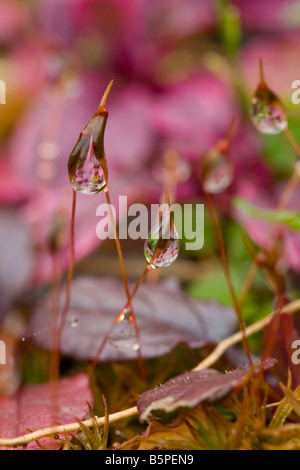 Rugiada di mattina su Wall-Screw Moss (Tortula muralis) Foto Stock