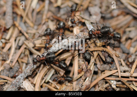 Gruppo di formiche - formica rufa L. - su un formicaio portando insieme un piccolo ramoscello.