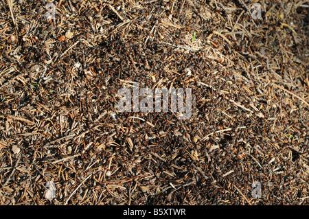 Un sacco di formiche di legno - formica rufa L. - su un formicaio.