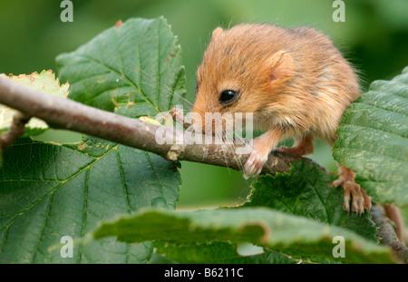 Hazel ghiro (Muscardinus avellanarius), cucciolo Foto Stock