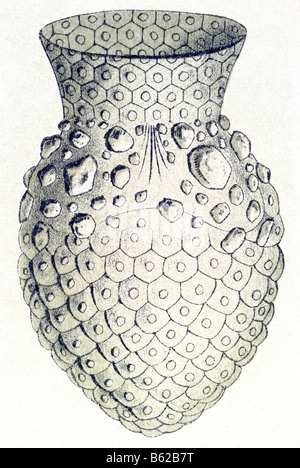 Ciliata / Wimperlinge, nome Stentor, Haeckel, Kunstformen der Natur, art nouveau, xx secolo, in Europa Foto Stock