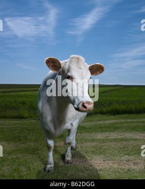 White per vacca da latte nell'azienda, l'Islanda Orientale Foto Stock