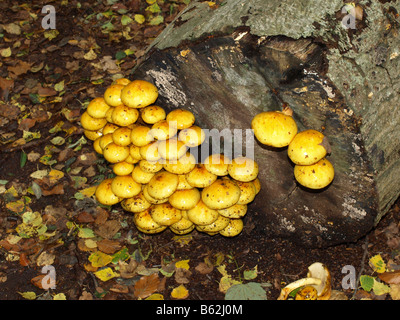 Giallo funghi fiorente sul degrado del legno. Fotocamere digitali Olympus Foto Stock