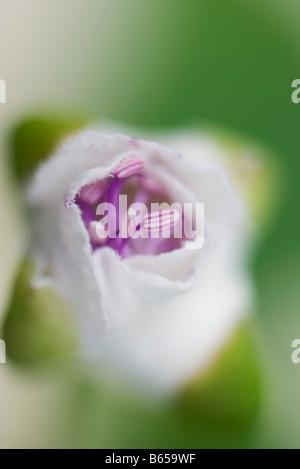 Flower avvolto in una garza di close-up Foto Stock