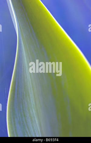 Foglie verdi che mostra il concetto di energia luminosa essendo convertiti in zuccheri attraverso il processo di Foto Stock