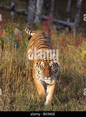 Tigre siberiana Foto Stock