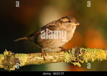 Casa passero femmina passer domesticus arroccato su un lichene ramo coperti Foto Stock