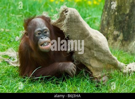 Carino baby orangutan giocando sull'erba Foto Stock