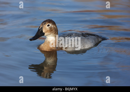 Canvasback, Aythya valisineria, anatra femmina Foto Stock