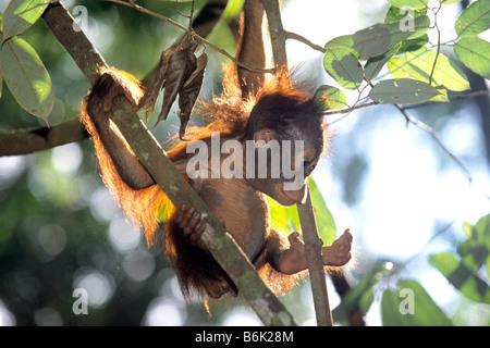 Bornean Orangutan (Pongo pygmaeus), baby arrampicata in una struttura ad albero Foto Stock