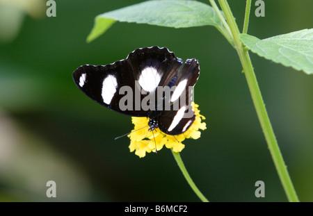 Comune di farfalla Eggfly Hypolimnas bolina sul fiore fotografato in cattività Foto Stock