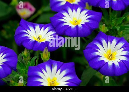 Convolvulus 'ammiraglia' mescolato tricolore gloria di mattina centinodia Foto Stock