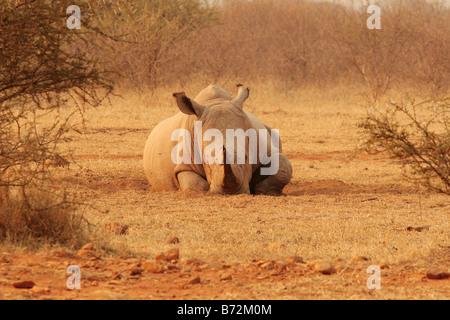 Un rinoceronte bianco Ceratotherium simum Foto Stock