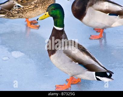 Mallard Duck su ingresso congelati off Lago Ontario a Clarkson Mississauga Ontario Canada nell'inverno del 2005 Foto Stock