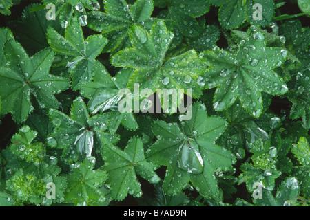 Gocce d'acqua sulla Lady del mantello (Alchemilla mollis), lascia dopo la pioggia nel Tirolo del nord, Austria, Foto Stock