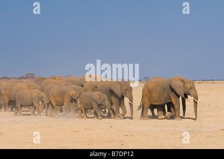 Elefanti in Amboseli National Park in Kenya Foto Stock