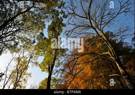 Il faggio e altri alberi decidui in vividi colori autunnali nei pressi di Golspie Sutherland Scotland Regno Unito Foto Stock