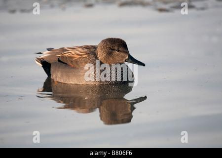 Canapiglia Anas strepera maschio su acqua Foto Stock
