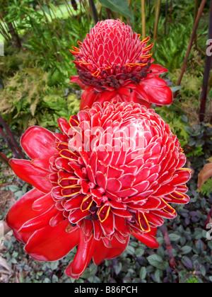 Spettacolari fioriture di Red Ginger torcia Etlingera elatior nativo di foreste pluviali in Indonesia e in Nuova Guinea