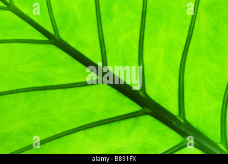 Dettaglio di una foglia Alocasia con vedere attraverso la luce che mostra la texture Foto Stock